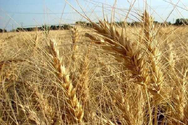 استان اصفهان دیگر ظرفیت تولید گندم ندارد