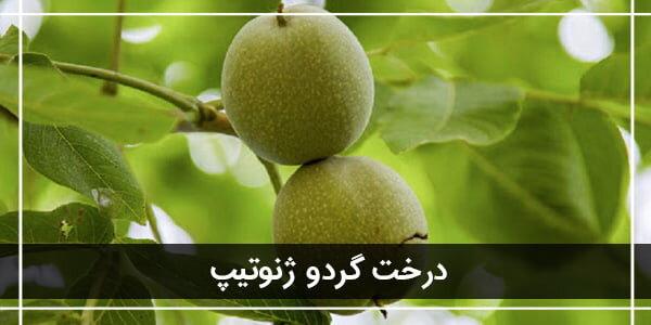 معرفی ۳ نهال گردو پیوندی پرسود ایران