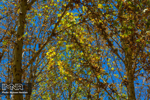 Early fall color seen in Isfahan's trees