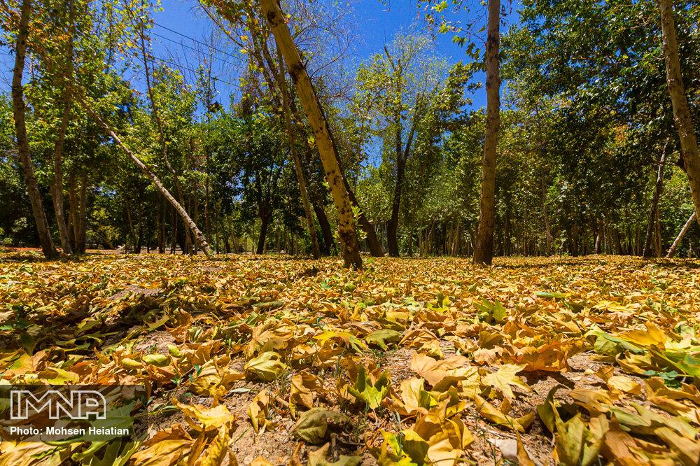 خزان زودرس درختان در تابستان