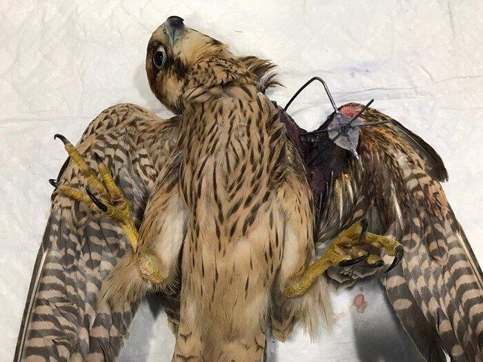 جراحی ارتوپدی پرنده شکاری در باغ پرندگان تبریز