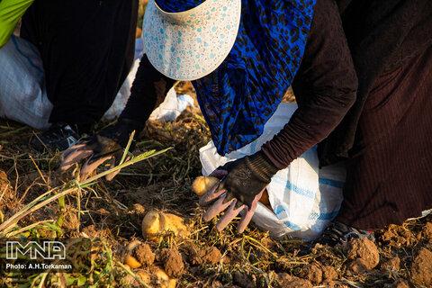 برداشت سیب زمینی در همدان