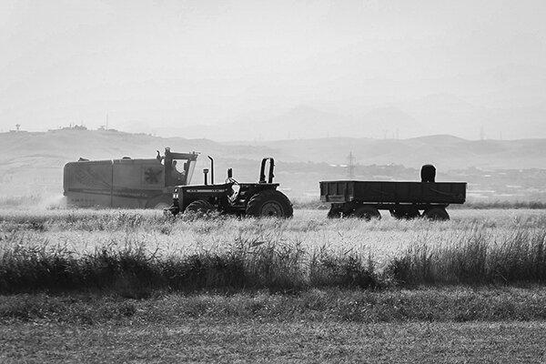 برداشت گندم در آذربایجان شرقی