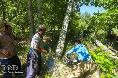 برداشت درخت صنوبر