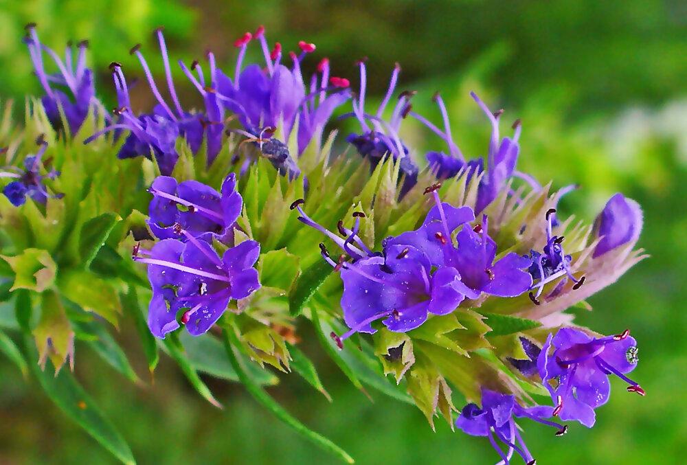 همه خواص زوفا + کاربرد، مضرات و فواید عرق گیاه Hyssop