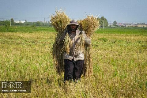 Harvesting rice on Northern Iran's paddy fields