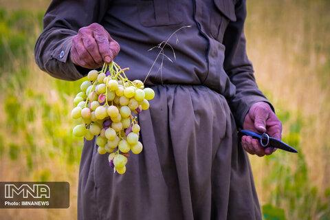 تولید کشمش طلایی در کردستان به روش بولاو