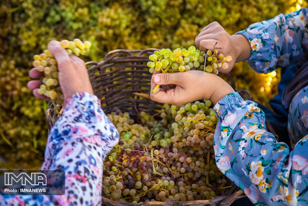 تولید کشمش طلایی در کردستان