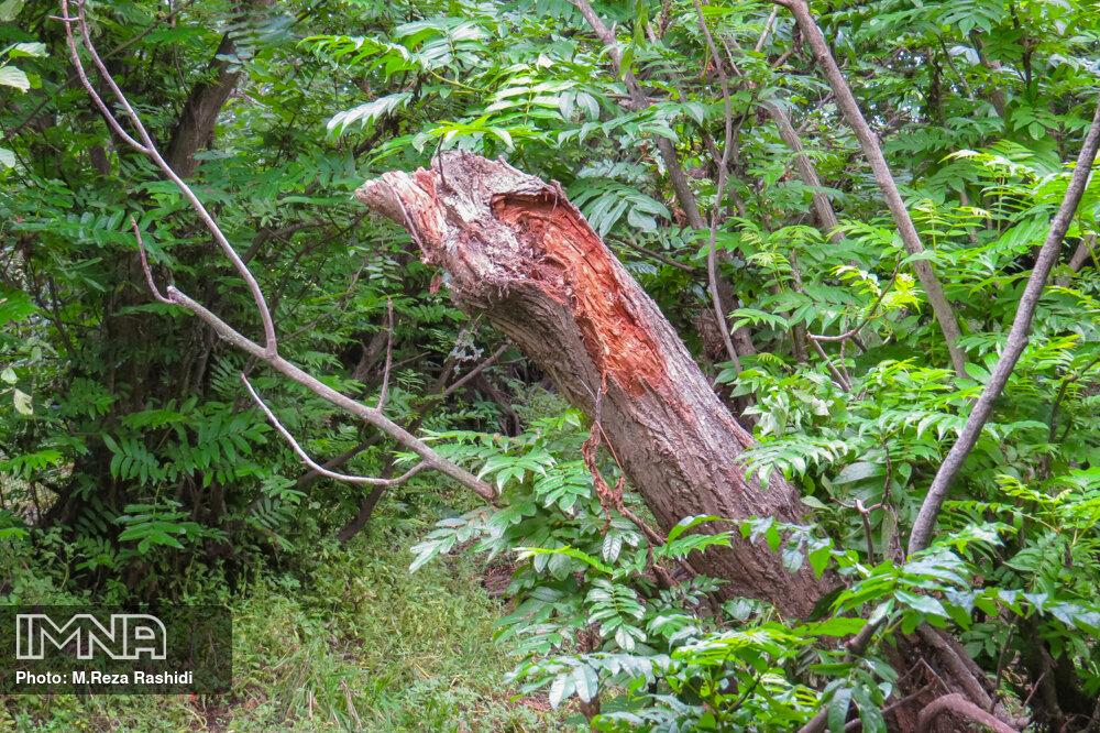 اجرای عملیات گسترده خشکه گیری و قطع درختان خشک در قزوین